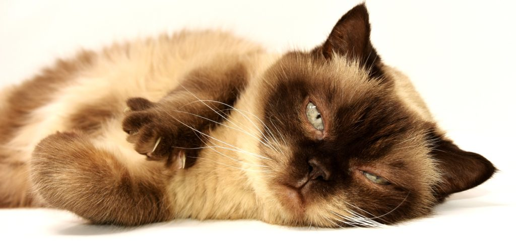 Why is Grooming Your Cat Important?